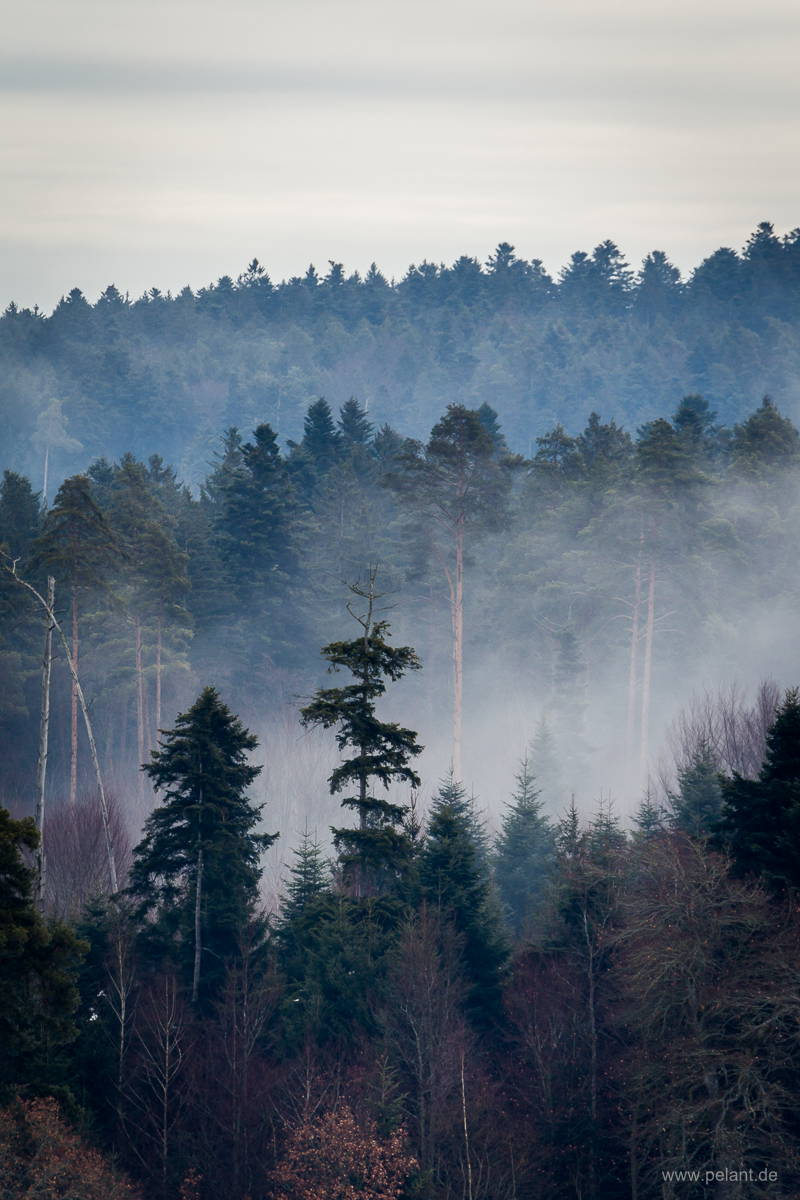 foggy black forest in winter