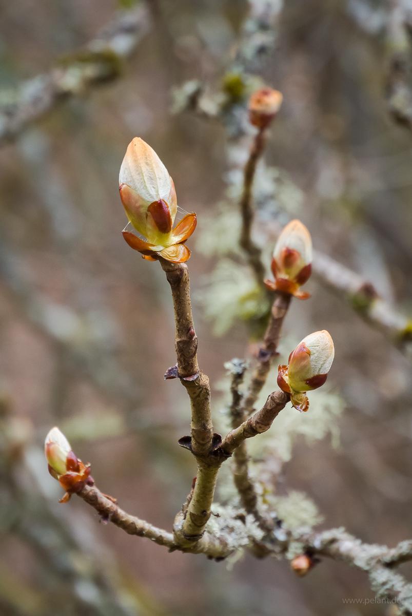 horse-chestnut bud (Aesculus hippocastanum)