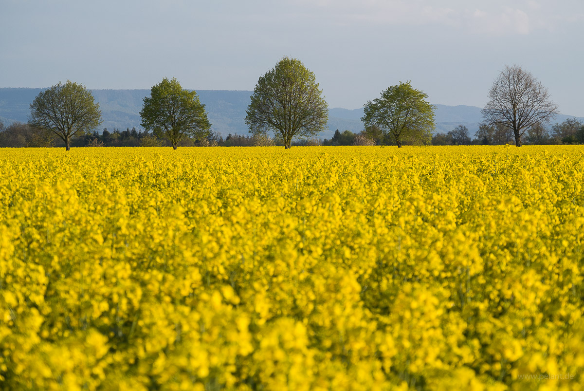 flowering rape-seed field