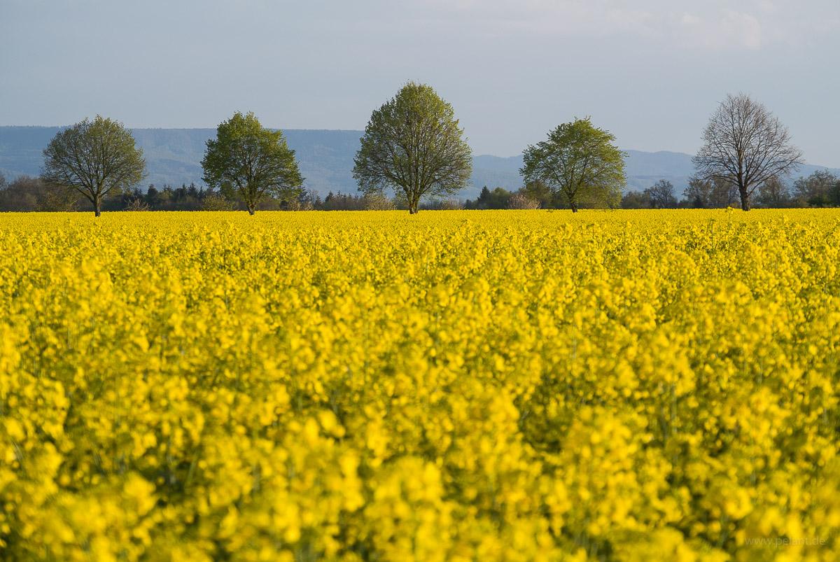Blühende Rapsfelder und Baumreihe / Alle im Hintergrund beim Einsiedel