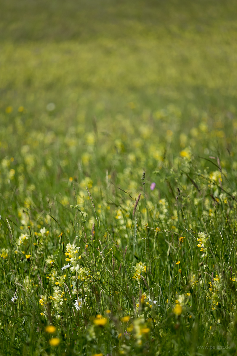 meadow with rattle (Rhinanthus alectorolophus)