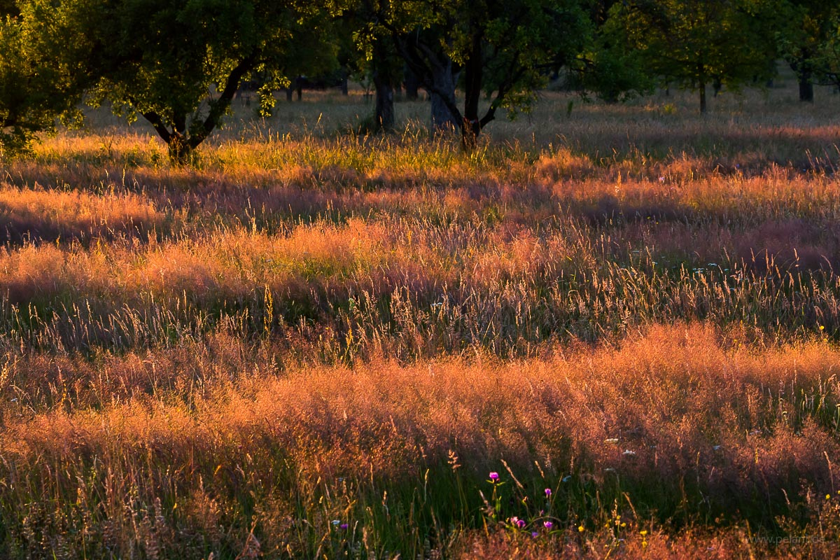 meadow with Agrostis capillaris in the evening light