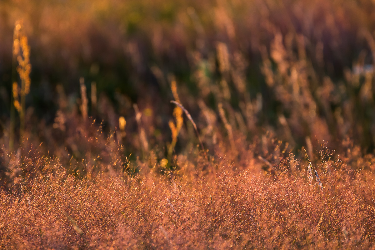 grasses in the evening light, Agrostis capillaris in the foreground
