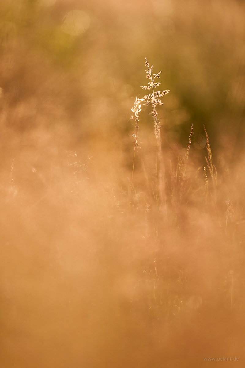 grasses in back light