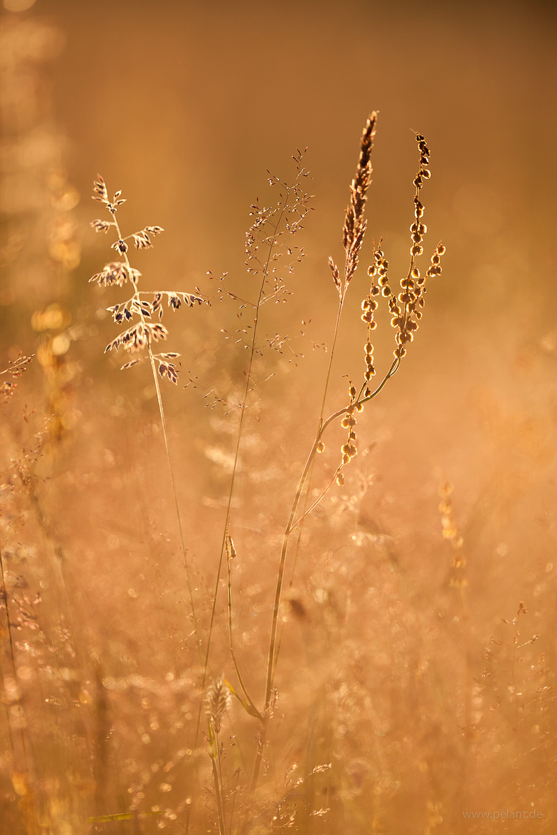 grasses with back light