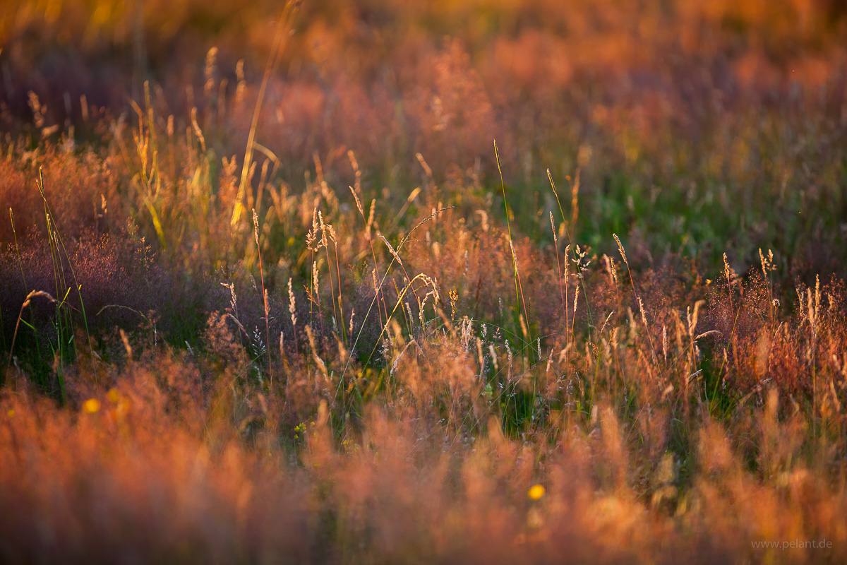 grasses in the evening light