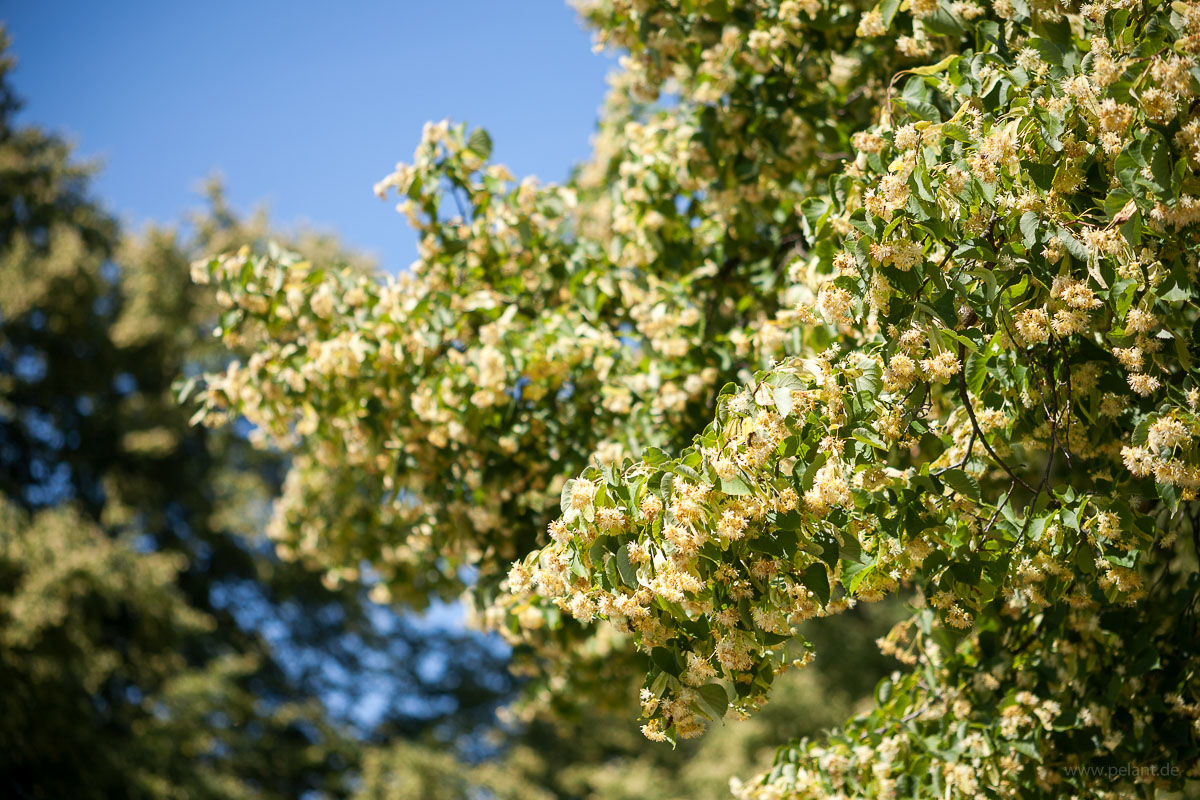 lime blossom - branch with many blossoms of a flowering lime tree