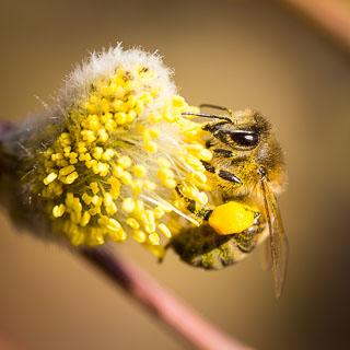 Weidenkätzchen mit Honigbiene