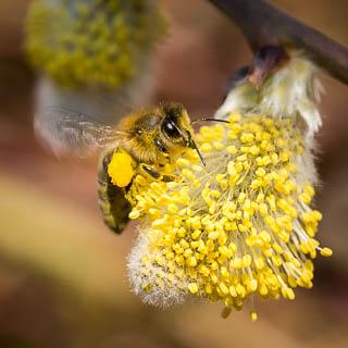 Honigbiene bei der Bestäubung eines Weidenkätzchens