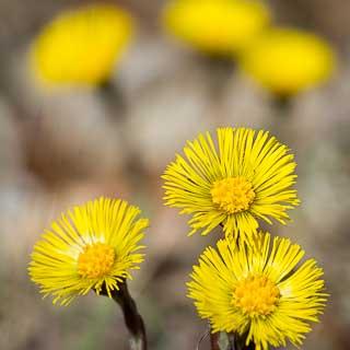 Blühender Huflattich (Tussilago farfara)