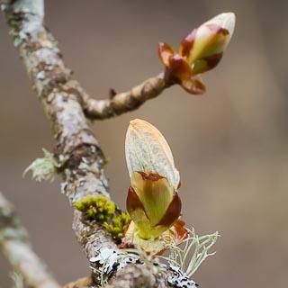 austreibende Rosskastanienknospe (Aesculus hippocastanum)