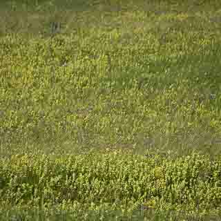 Wiese mit viel Klappertopf (Rhinanthus alectorolophus)