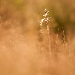 grasses in back light
