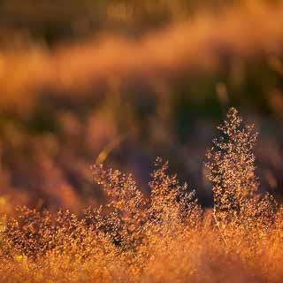 Rotes Straußgras (Agrostis capillaris) im Gegenlicht