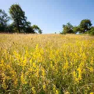 flowering yellow bedstraw (Galium verum) on a meadow
