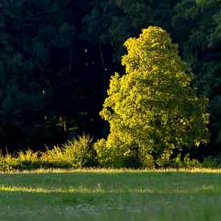 Baum im Morgenlicht vor dunklem Wald