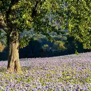 Phaceliafeld in Blüte mit einem Obstbaum