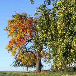 Herbstliche Streuobstbäume