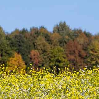 Blühendes Senffeld vor dem Waldrand