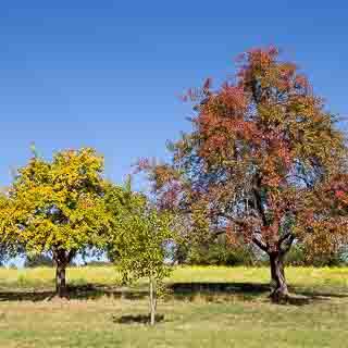 Streuobstbäume im Herbst vor einem blühenden Senffeld