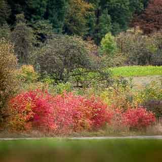 rot leuchtendes Herbstlaub von Gewöhnlichem Schneeball (Viburnum opulus)
