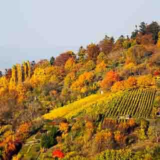 Weinberge am Floriansberg bei Metzingen im Herbst
