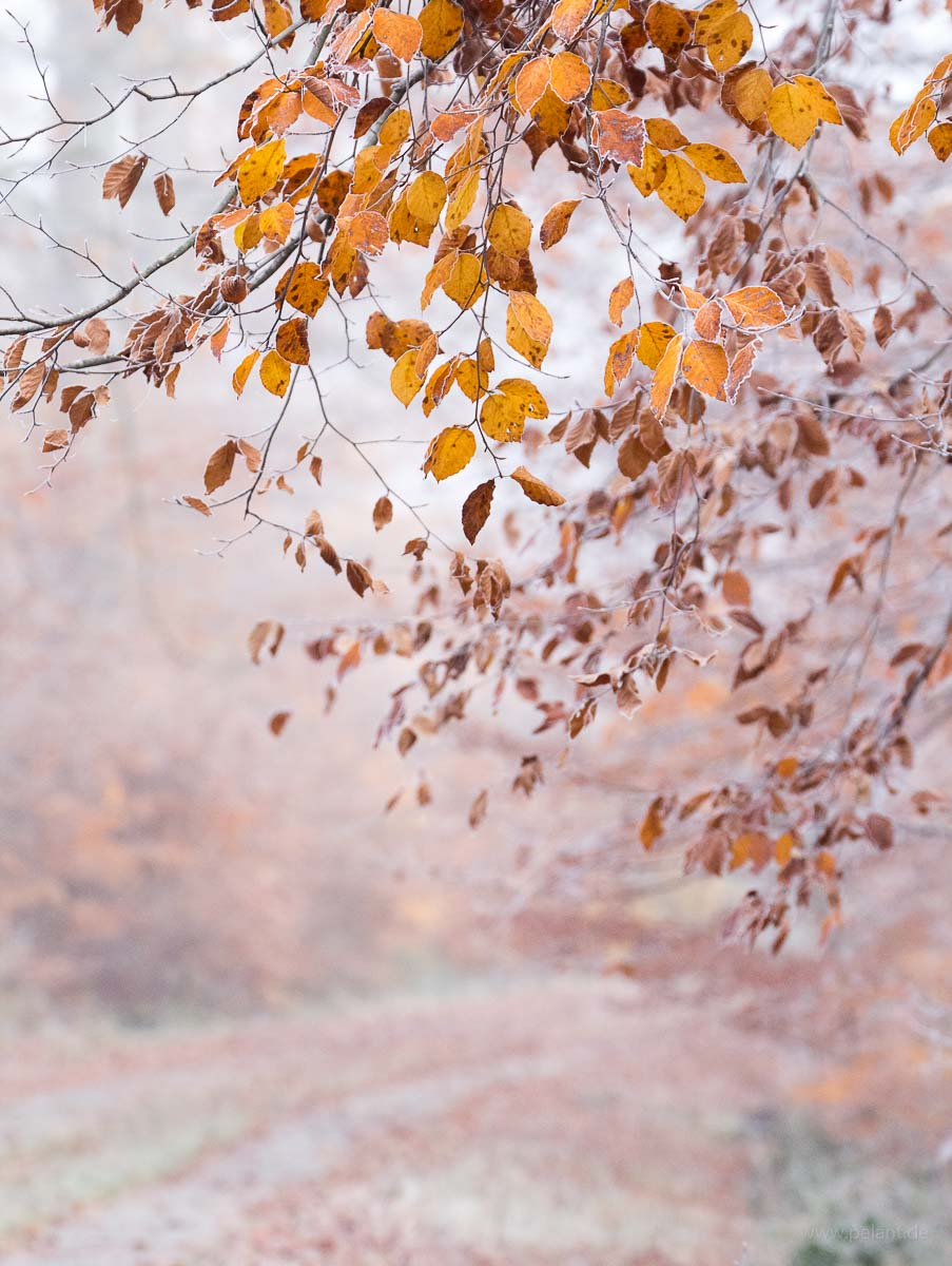 beech foliage (Fagus sylvatica) in front of a foggy forest track in the Schönbuch forest