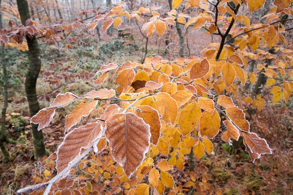 beech foliage with frost
