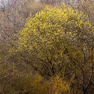 flowering goat willow (Salix caprea) in a hedge