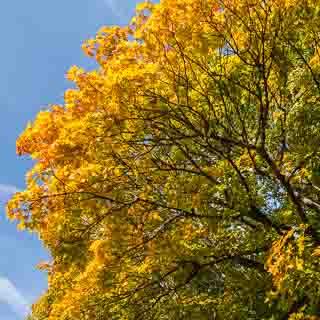 Spitzahorn (Acer platanoides) mit beginnender Herbstfärbung und blauem Himmel