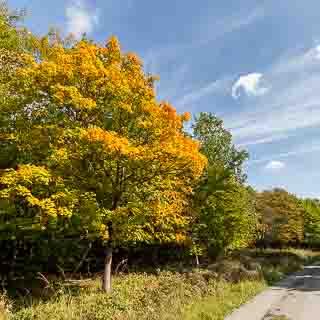 Spitzahorn (Acer platanoides) mit beginnender Herbstfärbung neben einem Waldweg im Schönbuch