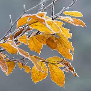 Herbstliches Leuchtendes Rotbuchenlaub (Fagus sylvatica) mit Reif