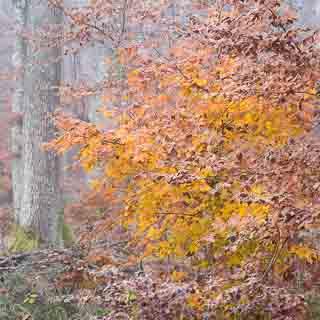 Rotbuchenlaub im nebligen Herbstwald