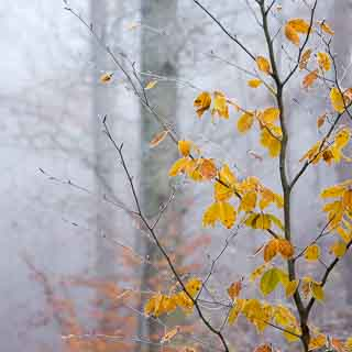 Rotbuchenlaub mit Reif im nebligen Herbstwald