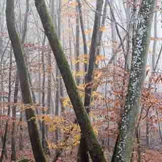 schiefe Baumstämme im herbstlichen Schönbuch, Buchenwald (Fagus sylvatica)