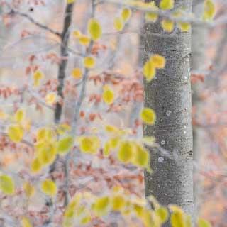 Baumstamm einer Rotbuche (Fagus sylvatica) mit unscharfem Herbstlaub