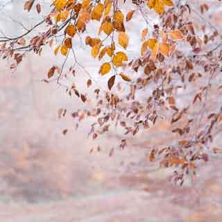 Herbstliches Buchenlaub (Fagus sylvatica) vor dem nebligen Waldweg im Schönbuch