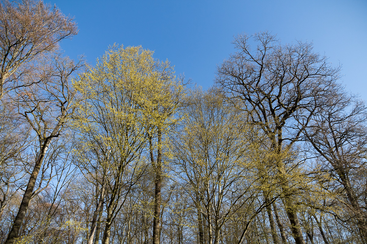 hornbeams and oaks in spring