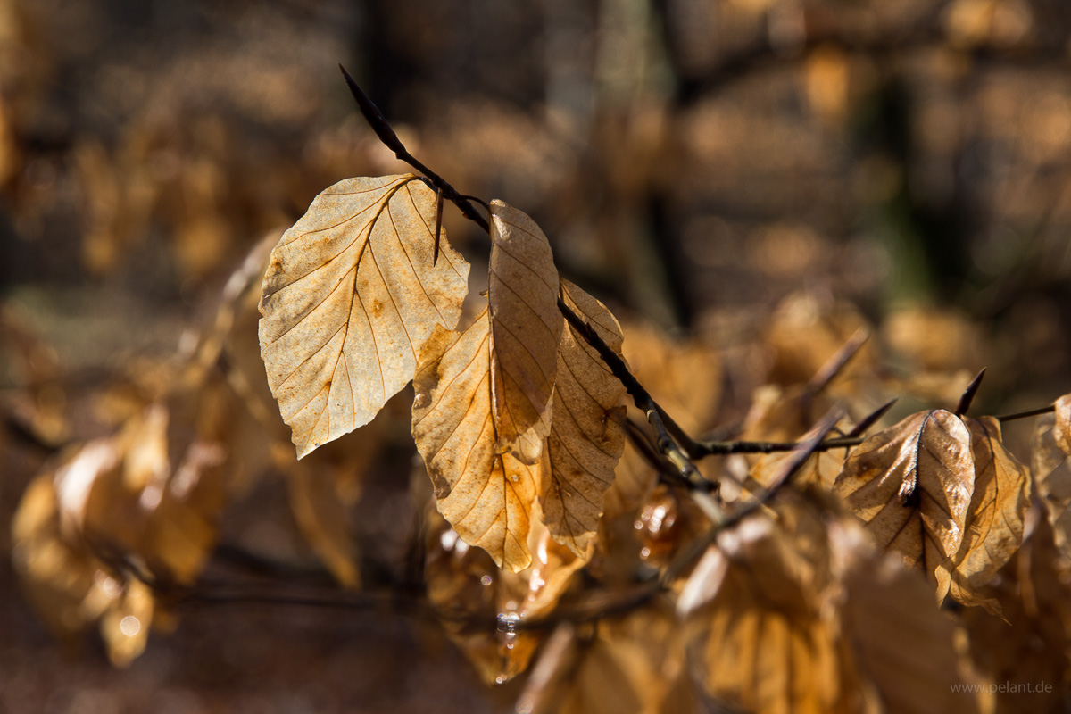 beech (Fagus sylvatica) foliage from last year in the morning light