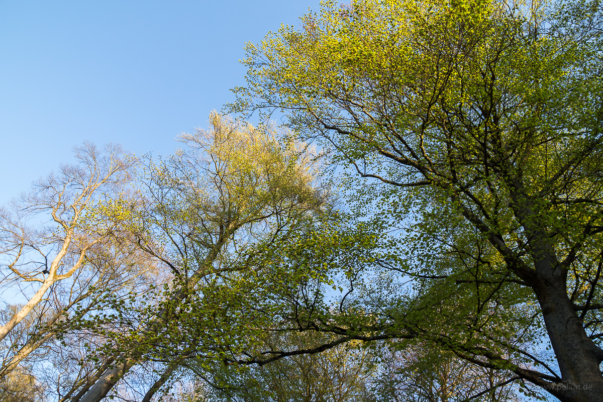 Fagus sylvatica in spring with new leaves