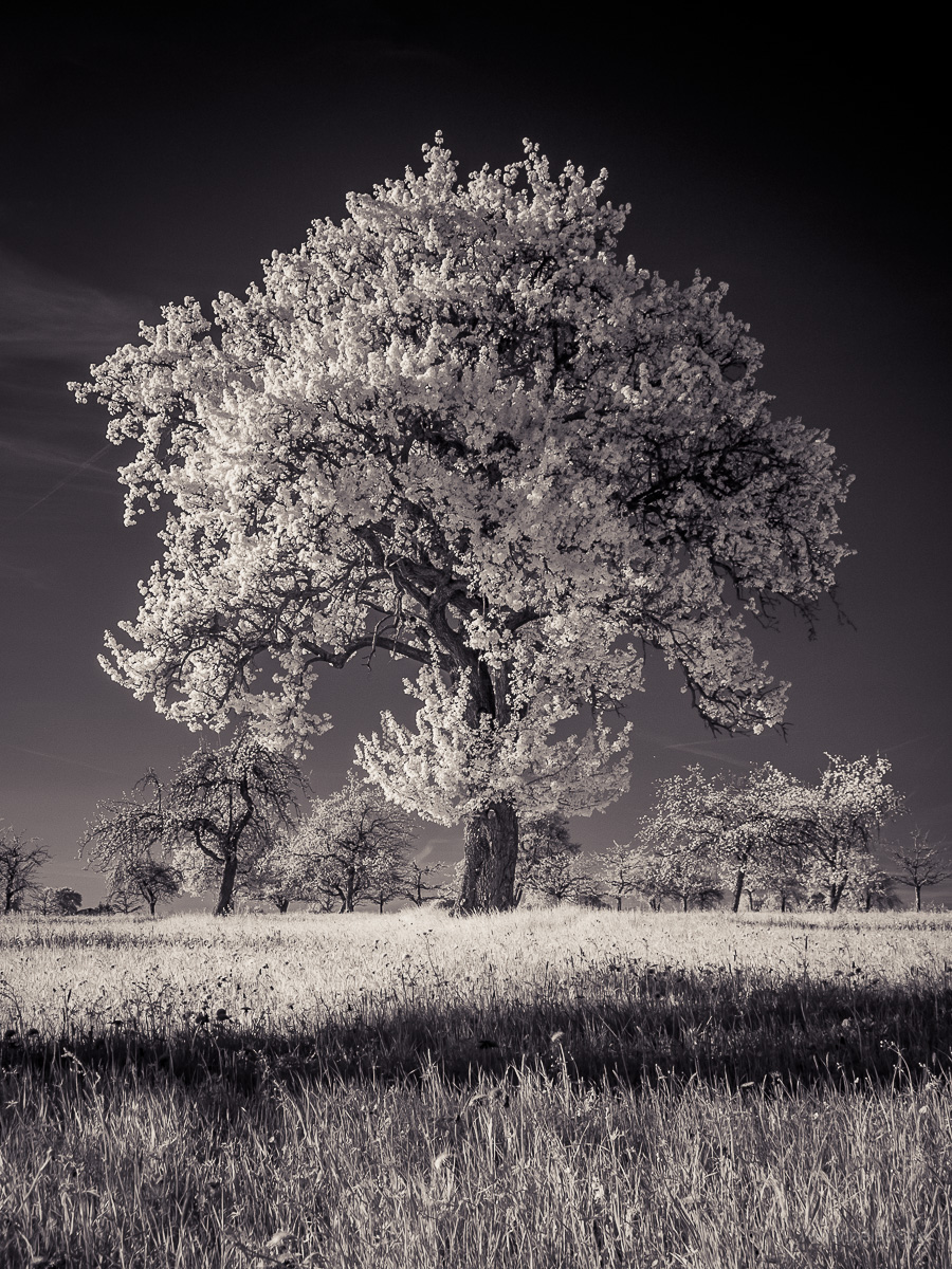 infrared photograph of a flowering cider pear tree