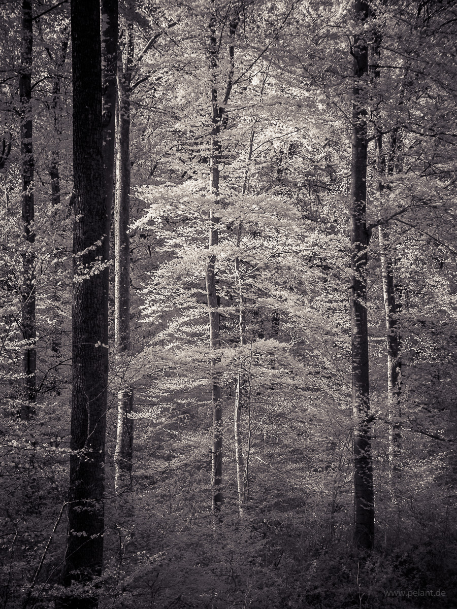spring forest in infrared