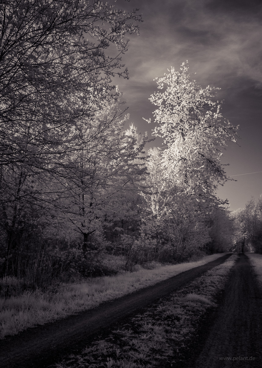 infrared photograph of a flowering wild cherry tree (Prunus avium) next to a forest track in the Schönbuch