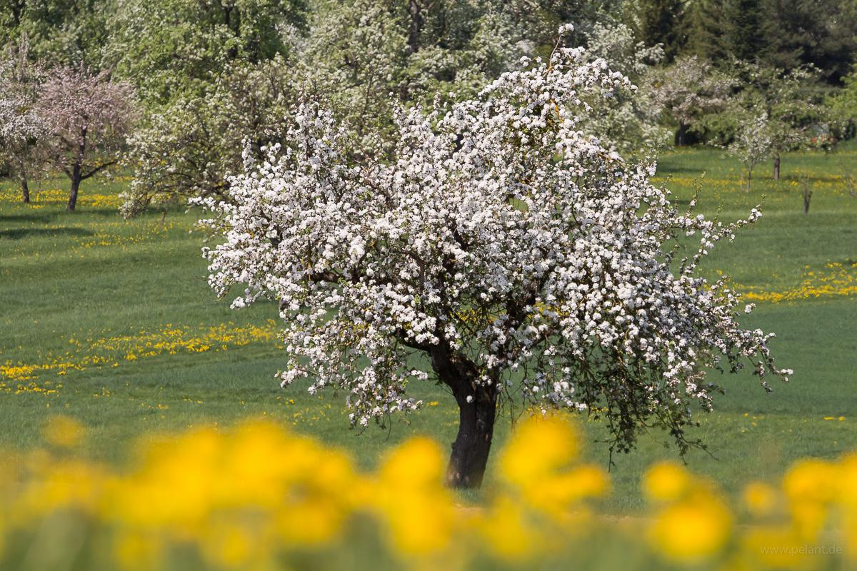 Apfelblüte und Löwenzahn auf einer Streuobstwiese