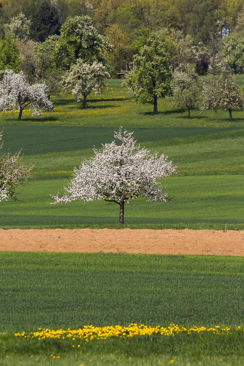 Blühender Apfelbaum Streuobstwiese Felder