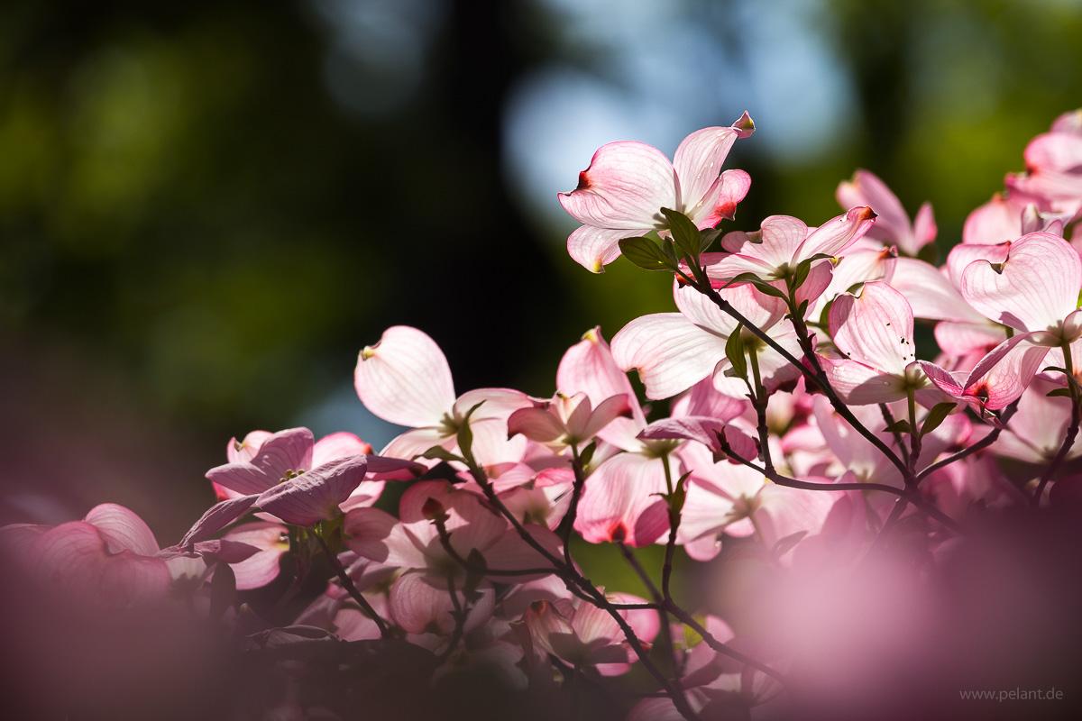 Blüten-Hartriegel Cornus florida 'Rubra'