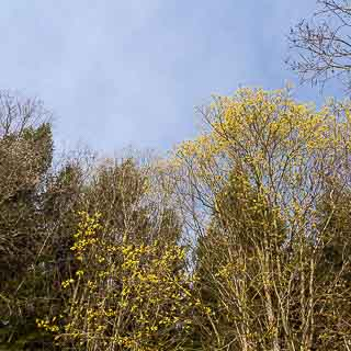 flowering goat willow (Salix caprea) at the edge of the forest