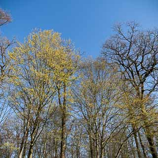 hornbeams and oaks in spring