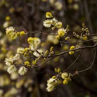 backlit willow catkins (Salix caprea)
