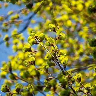 Fagus sylvatica (European beech) new leaves in spring